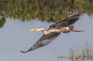 photo of Great Blue Heron flying over wetland