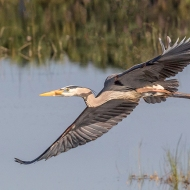 photo of Great Blue Heron flying over wetland