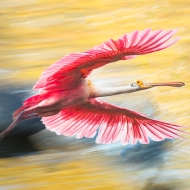 Spoonbill in Hyperspace