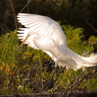 photo of backlit Great Egret