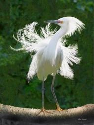 Enhanced photo of Snowy Egret on Palmetto Log