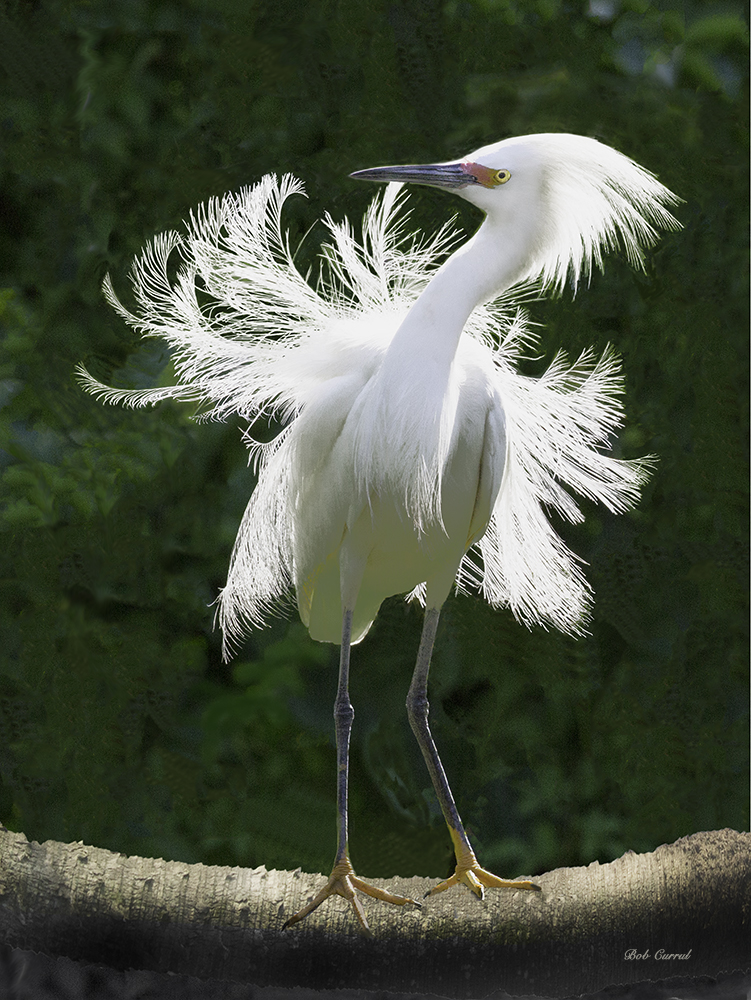 Enhanced photo of Snowy Egret on Palmetto Log