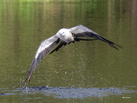 Photo of Swallow-tailed Kite finishing a skim for water.