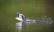 photo of Swallow-tail Kite skimming