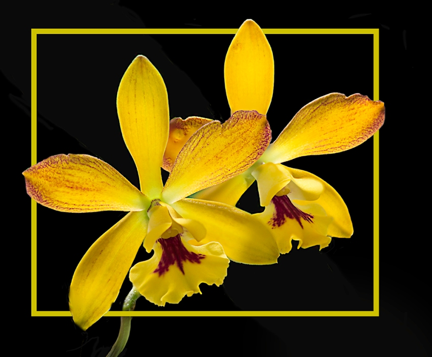 photo of Yellow Orchids