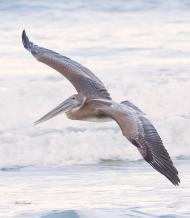 Photo of Pelican flying over Water