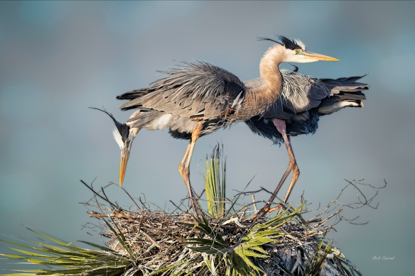 photo of Nesting Great Blue Herons