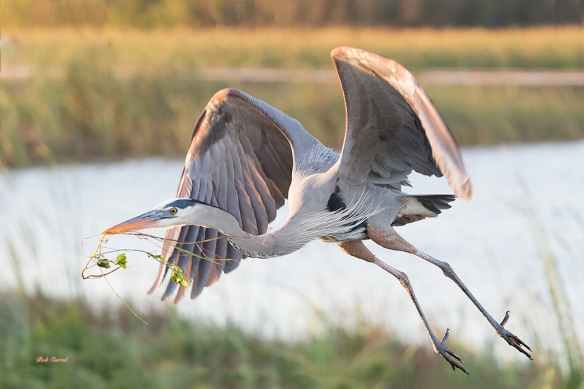 photo of Great Blue Heron Flying with Vine