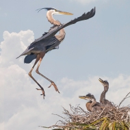 photo of Great Blue Heron Returning to Chicks