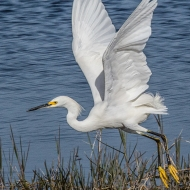 Photo of Snowy Egret at Ponds' Edge