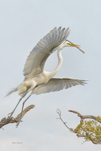 photo of Great Egret flying with Stick