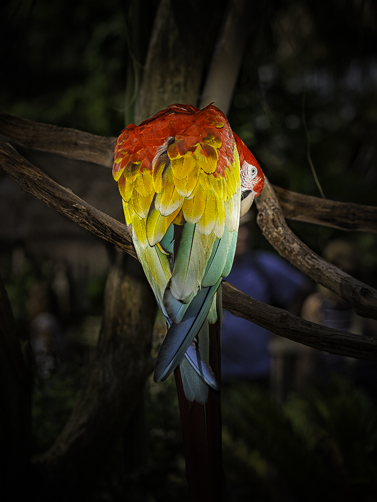 Photo of Scarlet Macaw
