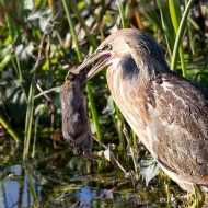 Photo of American Bittern with Prey.
