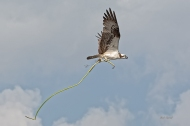 Photo of Osprey flying with lily stem