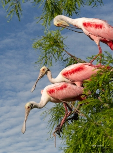 Photo of Three Roseate Spoonbills in tree.