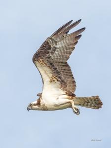 photo of Osprey in flight