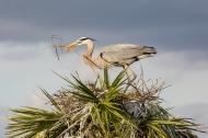 photo of Blue Heron building nest