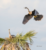 photo of Anhinga approaching nest