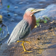 photo of Green Heron on Culvert