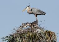 photo of Blue Heron chick swallowing fish