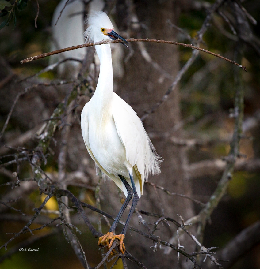 photo of Snowy Egret with twig