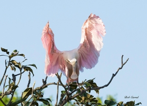 photo of Roseate Spoonbill on display