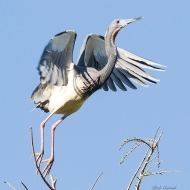 photo of Tricolor heron Taking off.