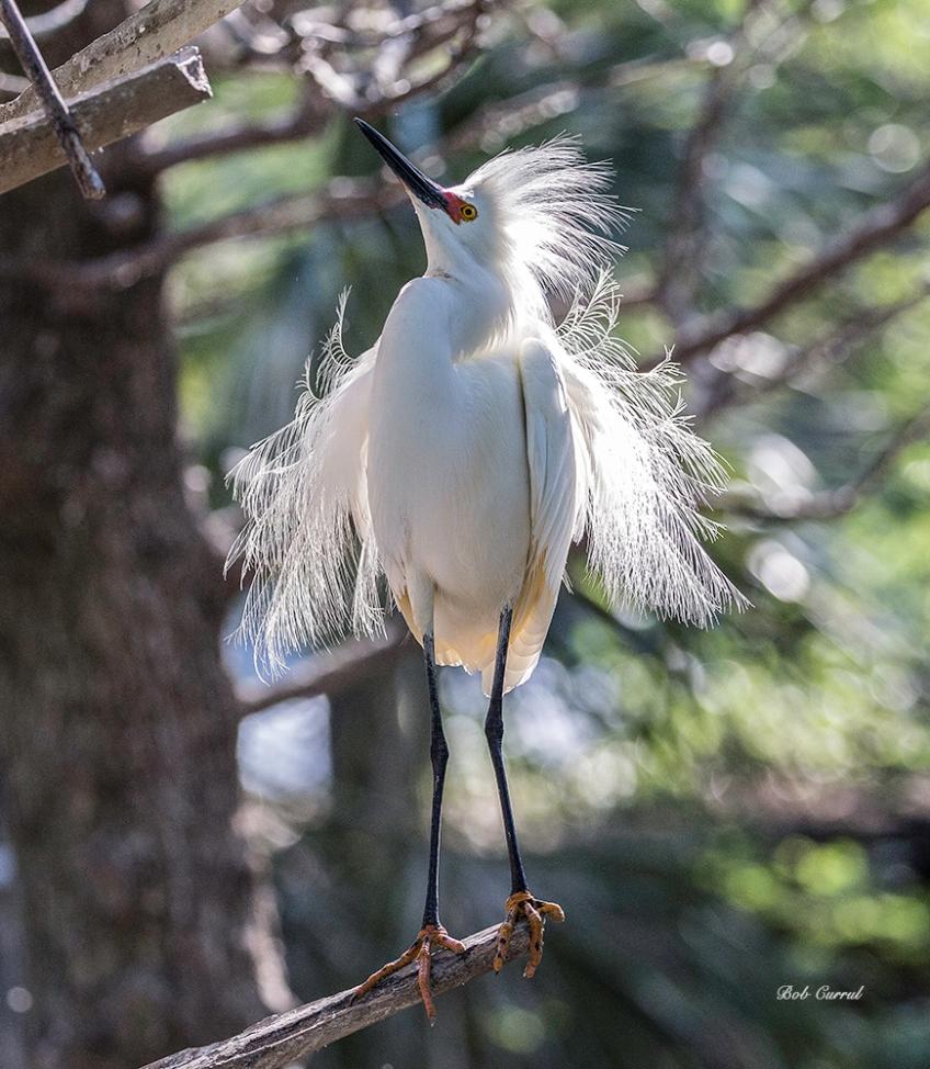 photo of Snowy Egret