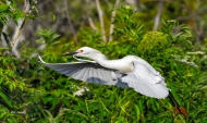 photo of Snowy Egret taking off