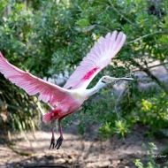 photo of Roseate Spoonbill taking off with twig