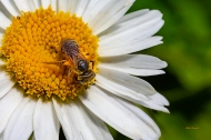 photo of Bee on a Daisy