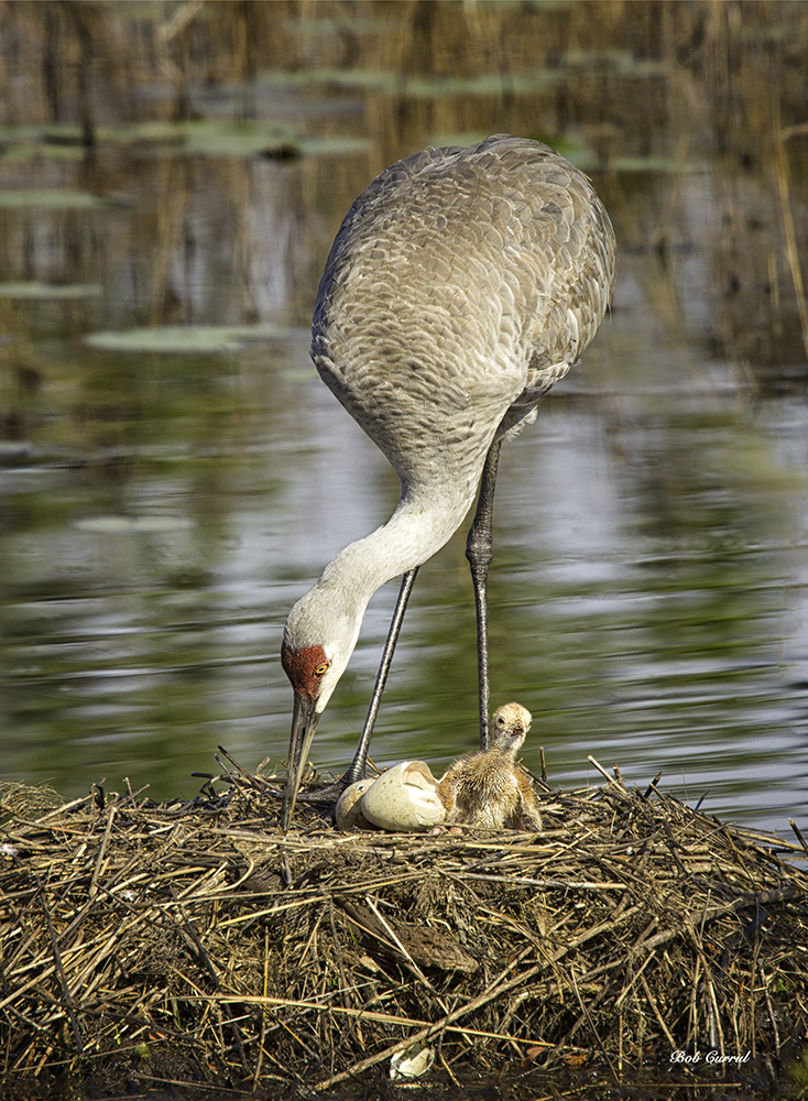 photo of Newly Hatched Sandhill Crane Chick