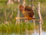 photo of Limpkin in Flight