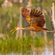 photo of Limpkin in Flight