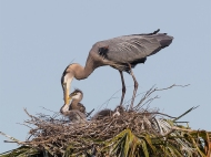 photo of Blue Heron feeding chick in Nest