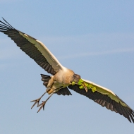 photo of Wood Stork flying with Branch