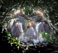 photo of Three Tricolor Heron Chicks in Nest
