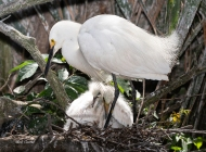 photo of Snowy Egret with two chicks in nest