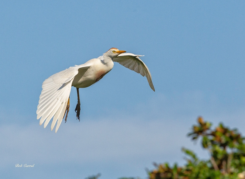 photo of Cattle Egret in Flight