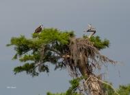 photo of Osprey in Cypress