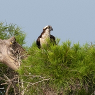 photo of Osprey in Cypress