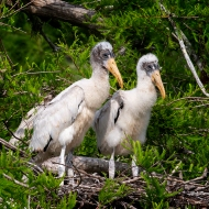 photo of Two Wood Stork Chicks