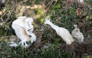 photo of Snowy Egrets