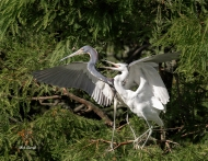 photo of Snowy and Tricolor herons together