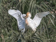 photo of Cattle Egret chick demanding food from parent