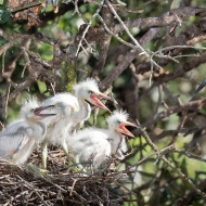 photo of Three Snowy Egret chicks with Parent