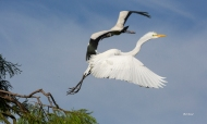 photo of Great Egret taking off with Wood Stork in Background