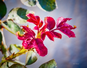 photo of Rose Leaves