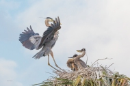 photo of Great Blue Returning to Chicks