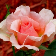 Photo of Rose